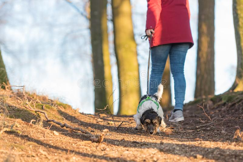 In autumn a  woman is  walking in the forest with a cute disobedient young small tricolor Jack Russell Terrier dog. In autumn a  woman is  walking in the forest royalty free stock image