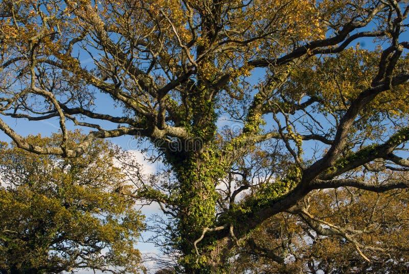Autumn on Woodbury Common, Devon royalty free stock photo