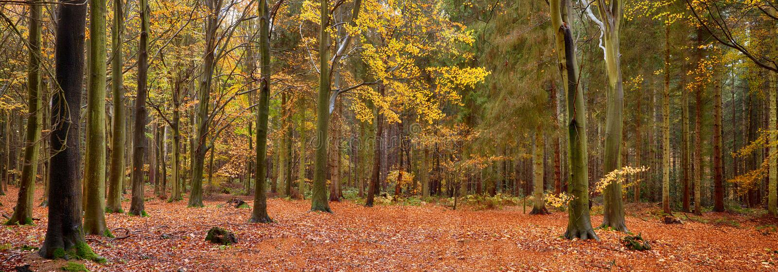 Autumn woodland panoramic scene. Panoramic scene of a woodland in beautiful autumn fall colors stock photography