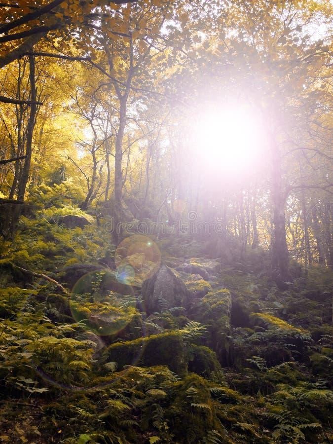 Autumn woodland sun shining though golden forest tress royalty free stock image