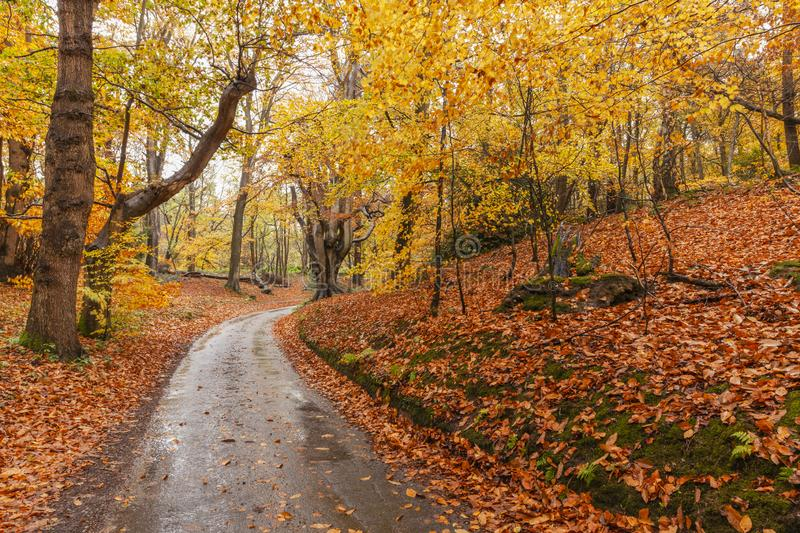 Autumn woodland and winding rural road. Stunning autumn woodland scene with a rural land winding through the forest. A carpet of golden falling leaves everywhere royalty free stock photography