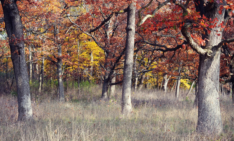 Autumn Woods. A forest with fall colors in Autumn when the grass is dead, but the brilliant rust and yellows come out from the oaks and maples at Big Foot Beach stock images