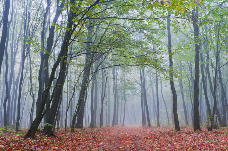 Misty morning in autumn forest royalty free stock photography