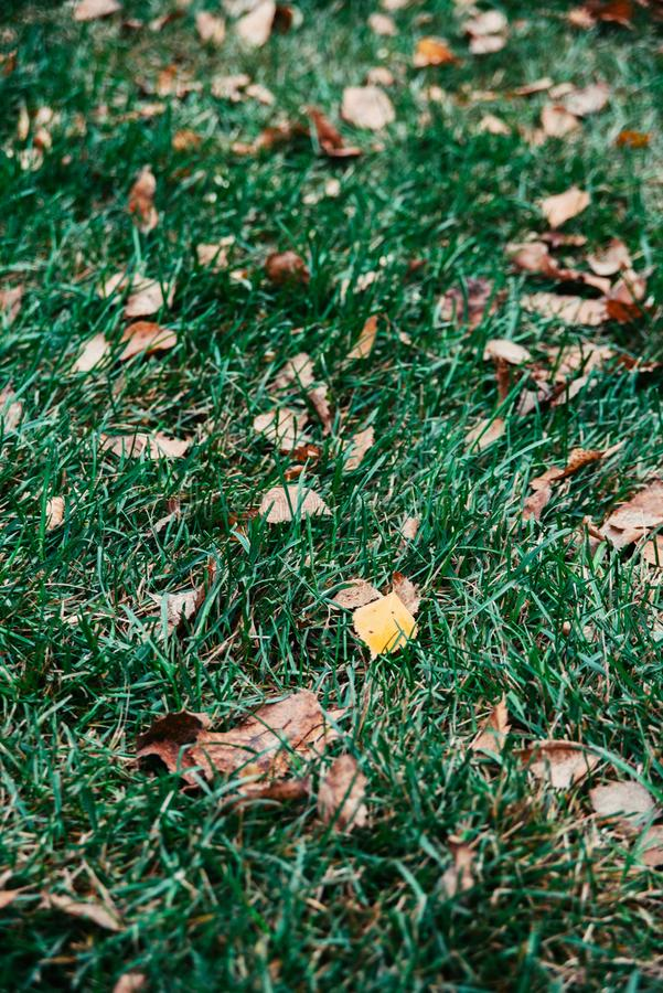 Autumn yellow and brown leaves on green grass. Dry autumn yellow and brown leaves lie on green grass of lawn, vertical stock photo image with selective stock images