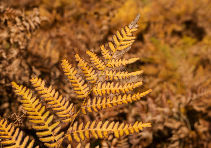 Autumn yellow fern. Beautiful Autumn yellow fern in forest royalty free stock image