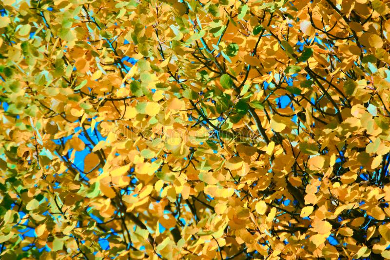 Autumn yellow foliage. Aspen leaves like gold coins stock photography