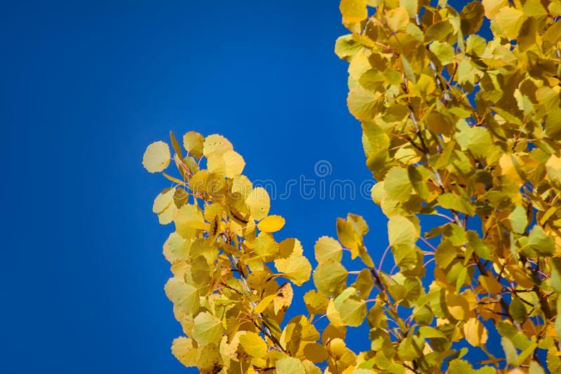 Autumn yellow foliage. Aspen leaves like gold coins royalty free stock photography