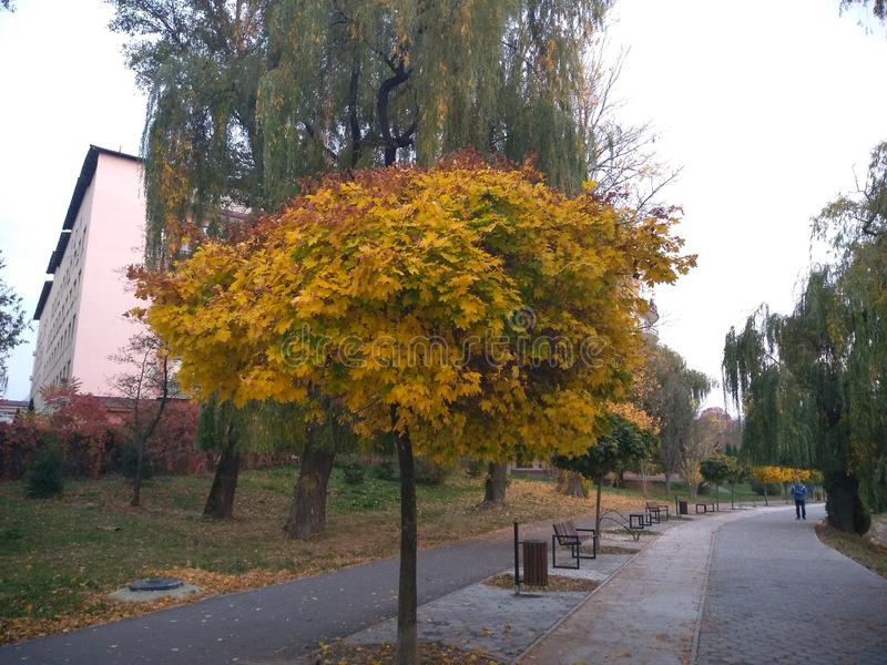 Autumn yellow landscape. Trees with yellow leaves of various shades in the park. Shear everywhere on the branches, in the air, on the ground. yellow invasion stock photos