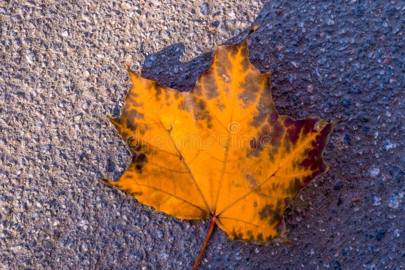 Autumn yellow leaf royalty free stock photo