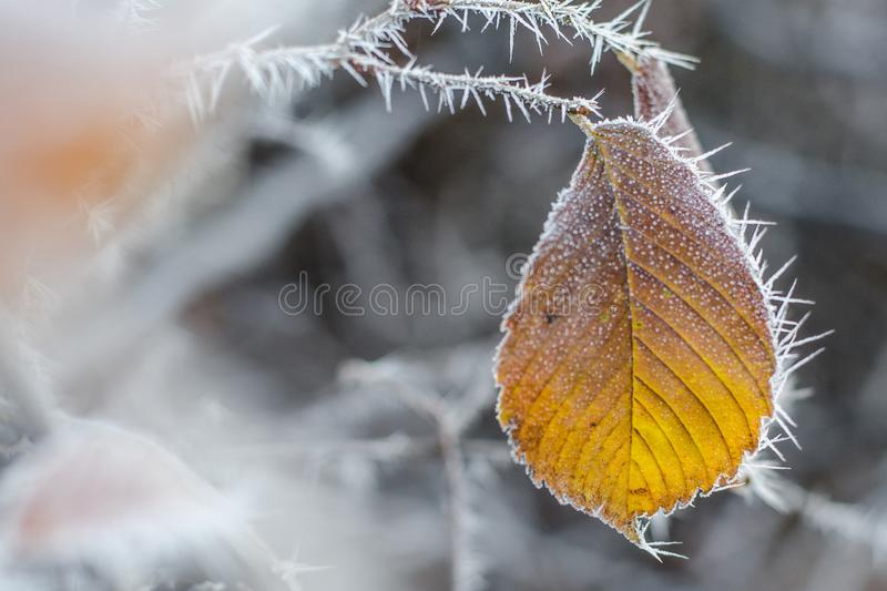 Autumn yellow leaf on a branch in frost needles. Loneliness. Morning frost. Rime. Late fall. Autumn yellow leaf on a branch in frost needles. Morning frost. Rime stock photography