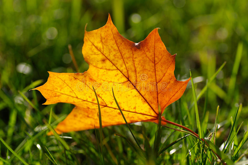 Autumn yellow leaf on a green lawn royalty free stock photo