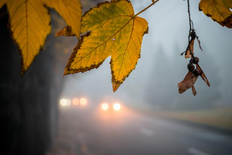Autumn yellow leaf hanging from a tree near the road. Foggy weather on a city street with cars in the distance. Blurry Mist Effect.  royalty free stock photo