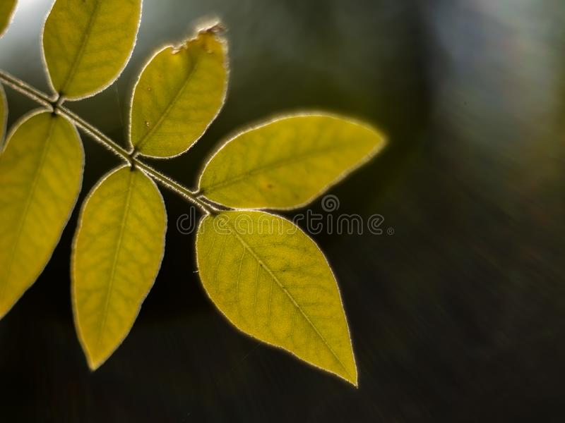 Autumn yellow leafs on a blurry background. macro shot of autumn. yellowed autumn leaf. tree leaf with beautiful bokeh.  stock photography