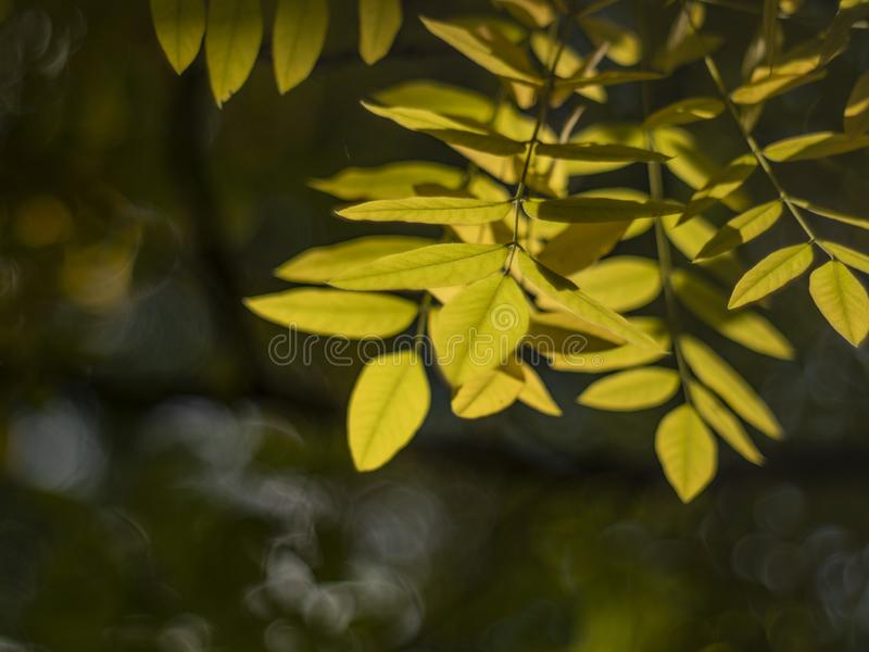 Autumn yellow leafs on a blurry background. macro shot of autumn. yellowed autumn leaf. tree leaf with beautiful bokeh.  stock photo
