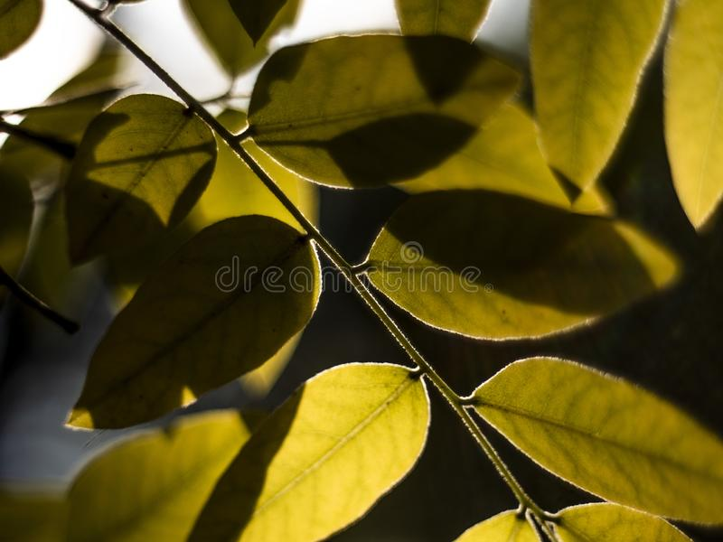 Autumn yellow leafs on a blurry background. macro shot of autumn. yellowed autumn leaf. tree leaf with beautiful bokeh.  royalty free stock photography