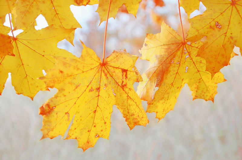 Autumn yellow leaves of maple outdoors stock photos