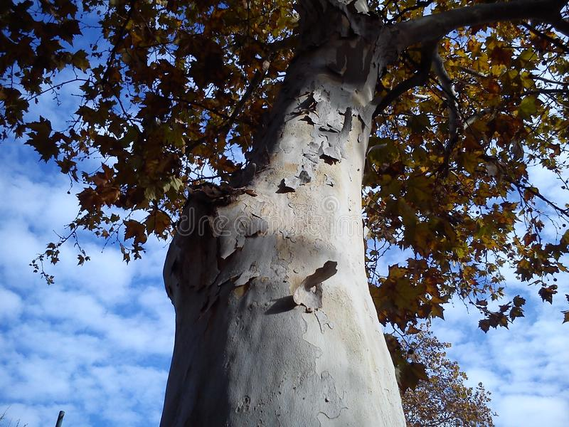 Autumn yellow leaves on a plane tree. Yellow tree crown on a background of blue sky with clouds. Seasonal fading of tree vitality. The bare trunk without bark stock photo