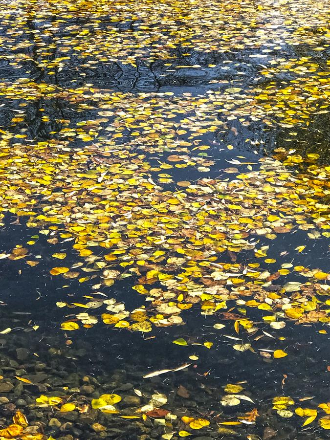 Autumn yellow leaves floating on the pond stock images