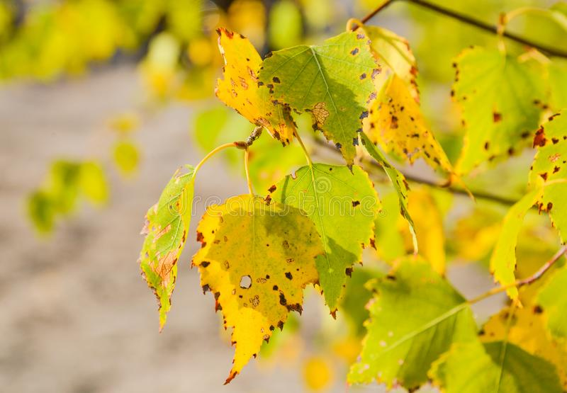 Autumn yellow leaves. The turned yellow birch. Nature of the central Russia. Autumn wood. Bright yellow leaves. Autumn landscape stock photo