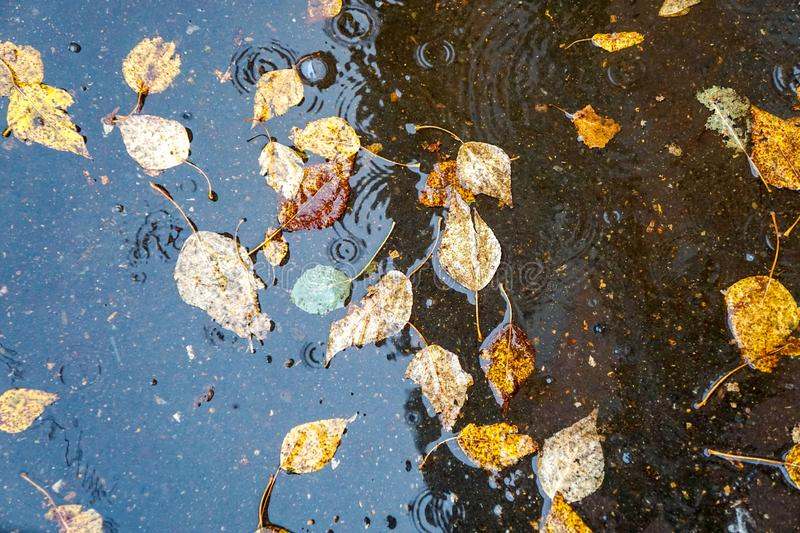 Autumn yellow leaves in the water, in a puddle, rain, splashes and circles on the water stock photos