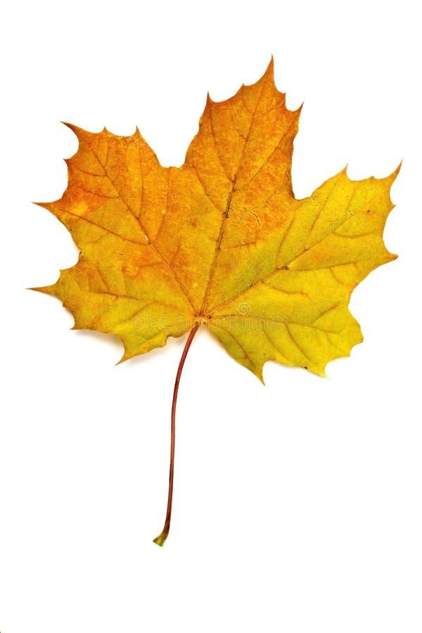 Autumn yellow maple leaf stock photo