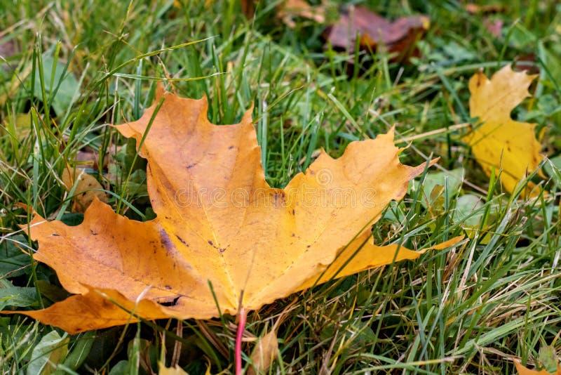 Autumn yellow maple leaf on green grass royalty free stock photos