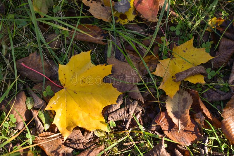 Autumn yellow maple leaf on green grass royalty free stock photography