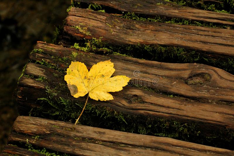 Autumn - yellow maple leaf at Plitvice Lakes National Park stock image