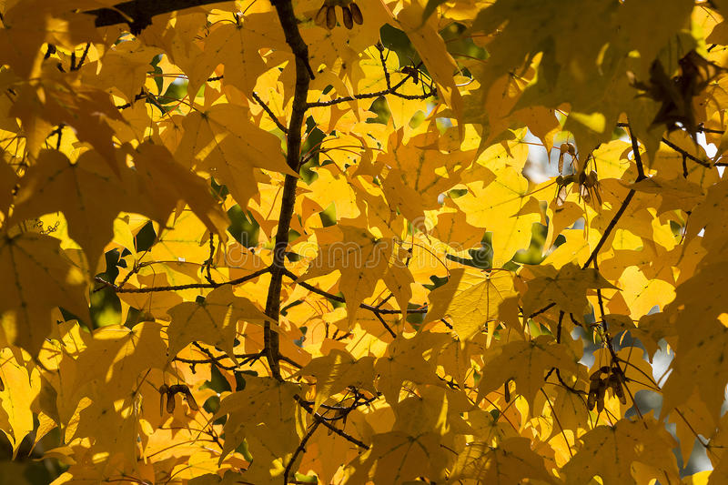 Download Autumn Yellow Maple Leaves Background Stock Image - Image of fall, branch: 38782195