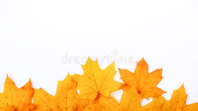 Autumn yellow maple leaves on white background, frame autumn day with copy space royalty free stock photo
