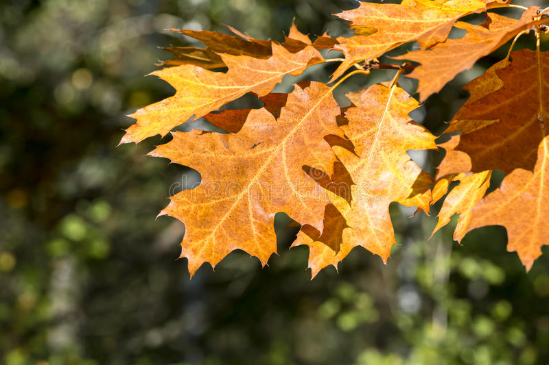 Autumn yellow and orange maple tree leaves during fall season royalty free stock images