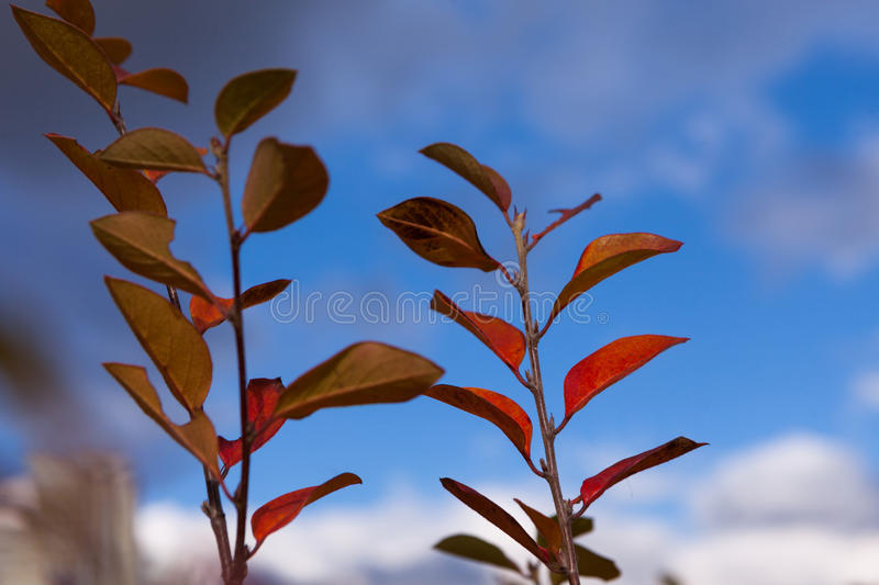 Autumn yellow and red leaves against the blue sky royalty free stock photos