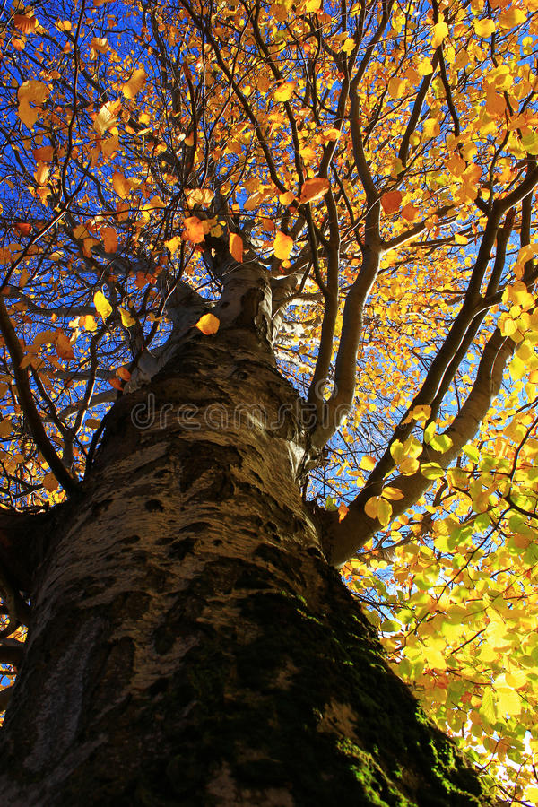 Free Autumn Yellow Tree Royalty Free Stock Photo - 27924775