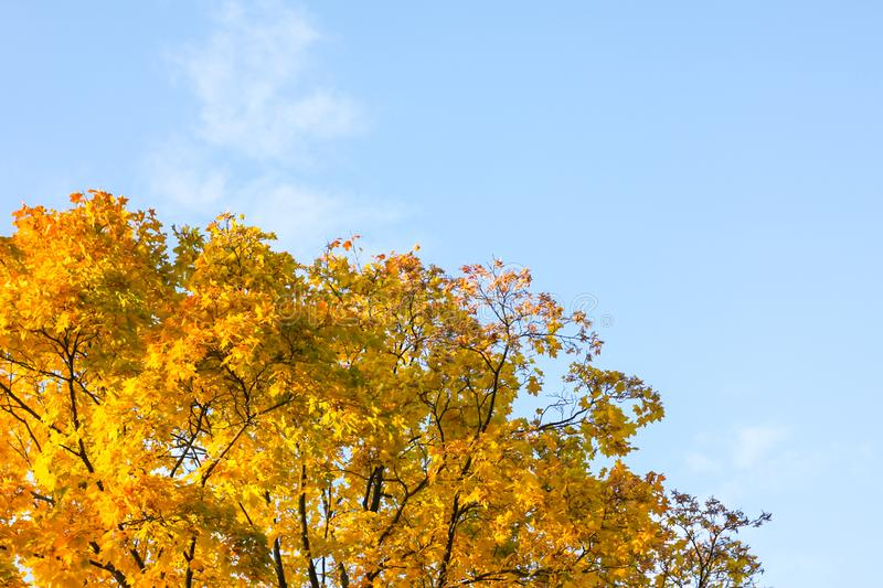 Autumn yellow tree against the blue sky stock images