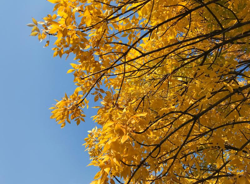 Autumn yellow tree on a background of blue sky stock photo