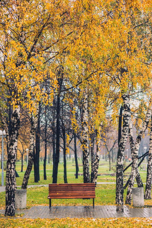 Autumn yellow tree birch grove among orange grass in the park with bench royalty free stock photography