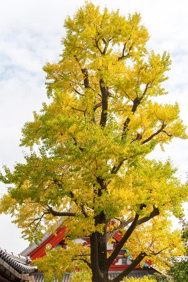 Autumn yellow tree in the Shinjuku park, Tokyo, Japan. Vertical.  stock image