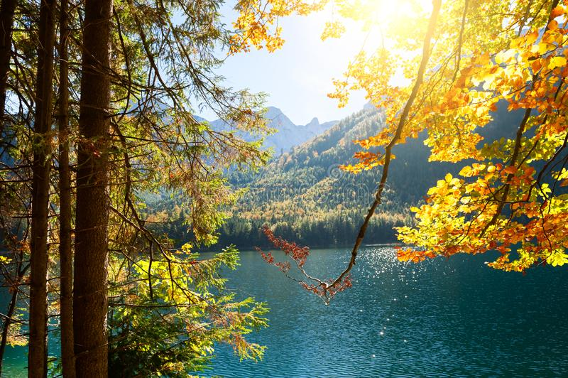Autumn yellow trees on the shore of lake in Alps, Austria. Autumn yellow trees on the shore of lake in Alps mountains, Austria stock images