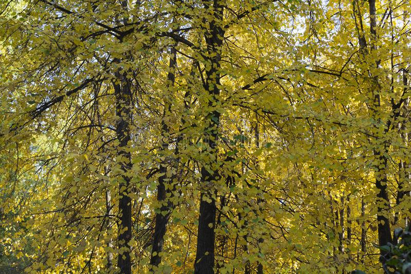 The Autumn yellow trees on a sunny day. The Autumn Park, forest. Yellow trees, yellow foliage, leaves. There is sunny day stock photography