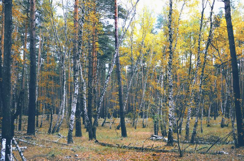 Autumn yellow wild forest, outdoor hiking stock images