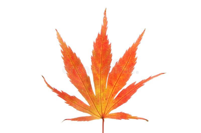 Download Autumnal acer leaf stock illustration. Illustration of leaf - 104190767