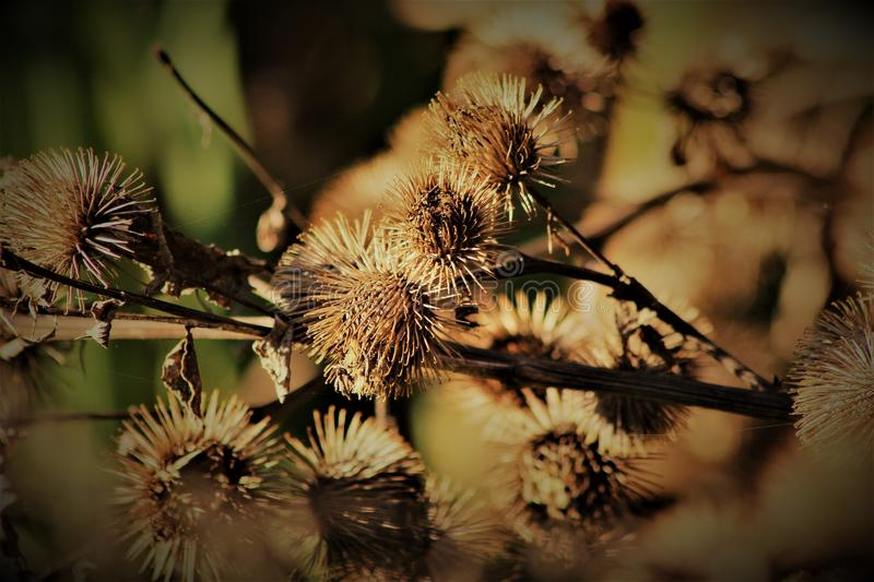 Autumnal Arctium royalty free stock image