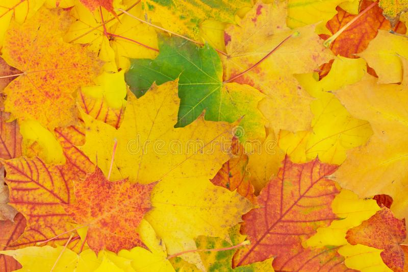 Autumnal background of colorfully colored maple leaves. royalty free stock images