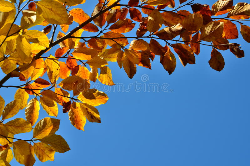Autumnal beech leaves. Beech branch with vividly colored leaves lit by back sunlight against blue sky. Copy space stock photography