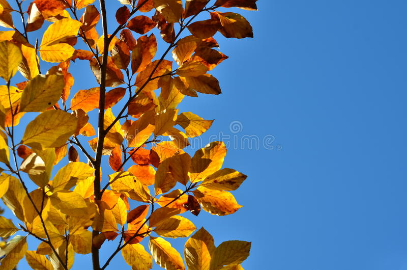 Autumnal beech leaves. Beech branch with vividly colored leaves lit by back sunlight against blue sky. Copy space royalty free stock photography