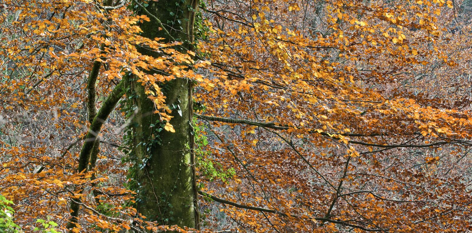 Download Autumnal beech tree stock image. Image of colorful, details - 11848381