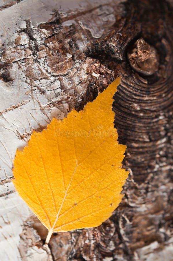 Download Autumnal birch leaf stock image. Image of stump, laminar - 16040157