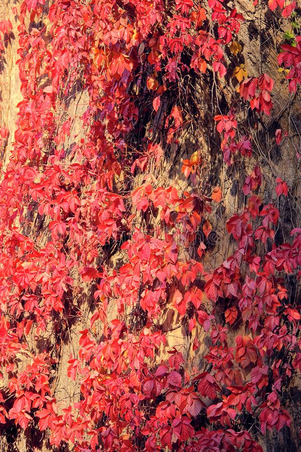 Autumnal Boston ivy royalty free stock photography