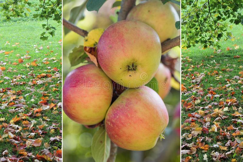 Autumnal collage - branch with apples and meadow with fallen lea royalty free stock photography