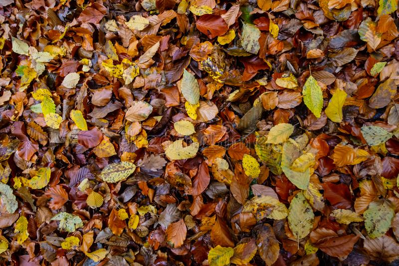 Autumnal colored beech leaves fallen on the forest floor stock photos